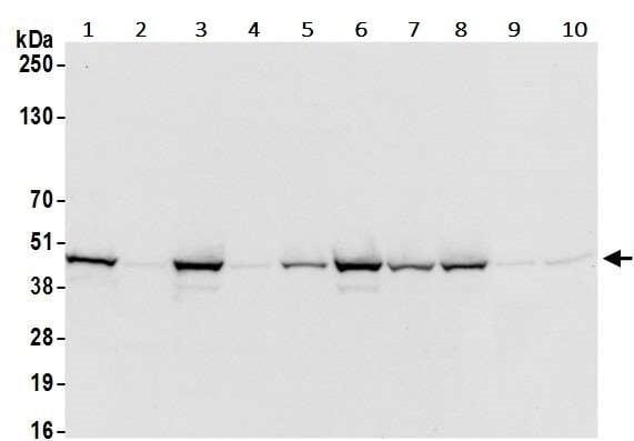 Western blot - Anti-IRF1 antibody [BLR039F] - BSA and Azide free (ab272088)