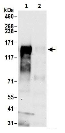 Immunoprecipitation - Anti-CD30 antibody [BLR055F] - BSA and Azide free (ab272089)