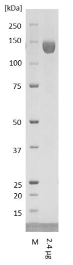 SDS-PAGE - Recombinant Human coronavirus SARS-CoV-2 Spike Glycoprotein S1 (Fc Chimera) (ab272105)