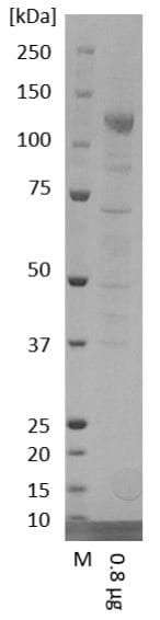 SDS-PAGE - Recombinant Human coronavirus SARS-CoV-2 Spike Glycoprotein S2 (Fc Chimera) (ab272106)