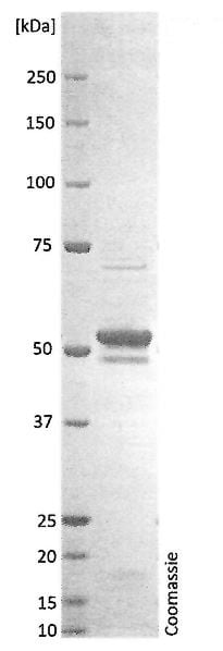SDS-PAGE - Recombinant Human coronavirus SARS Nucleocapsid Protein (His tag) (ab272108)