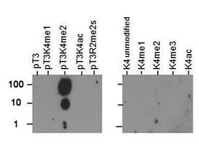 Dot Blot - Anti-Histone H3 antibody (ab272139)