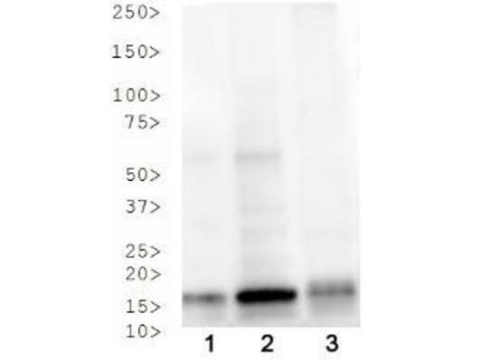 Western blot - Anti-Histone H3 antibody (ab272140)