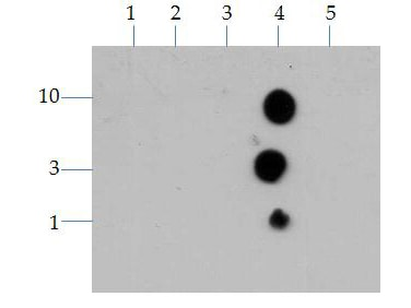 Dot Blot - Anti-Histone H3 antibody (ab272143)