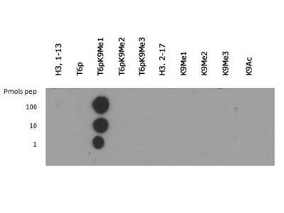 Dot Blot - Anti-Histone H3 (phospho T6, mono methyl K9) antibody (ab272145)