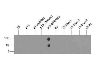Dot Blot - Anti-Histone H3 (phospho T6, tri methyl K9) antibody (ab272147)