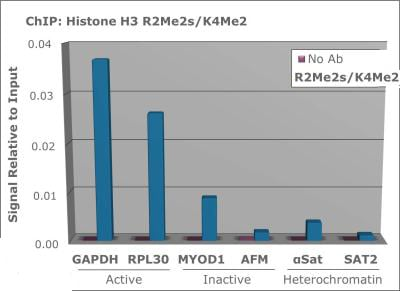 ChIP - Anti-Histone H3 (symmetric di methyl R2, di methyl K4) antibody (ab272156)