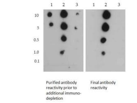 Dot Blot - Anti-Histone H3 (symmetric di methyl R2, di methyl K4) antibody (ab272156)