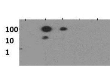 Dot Blot - Anti-Histone H3 antibody (ab272161)