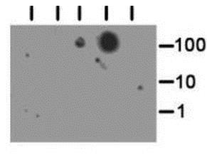 Dot Blot - Anti-Histone H3 antibody (ab272162)