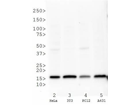 Western blot - Anti-Histone H3 (methyl K27) antibody (ab272165)