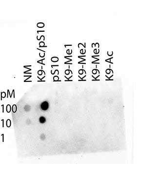 Dot Blot - Anti-Histone H3 (acetyl K9, phospho S10) antibody (ab272166)