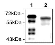 Western blot - Recombinant Human Estrogen Receptor alpha protein (ab272167)