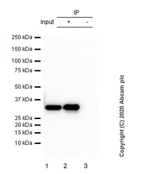 Immunoprecipitation - Anti-CRALBP antibody [EPR23448-119] - BSA and Azide free (ab272171)