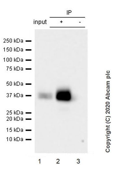 Immunoprecipitation - Anti-Junctional Adhesion Molecule 1/JAM-A antibody [EPR23246-275] - BSA and Azide free (ab272172)