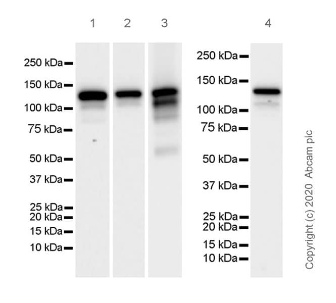 Western blot - Anti-Eg5 antibody [EPR23277-7] (ab272220)