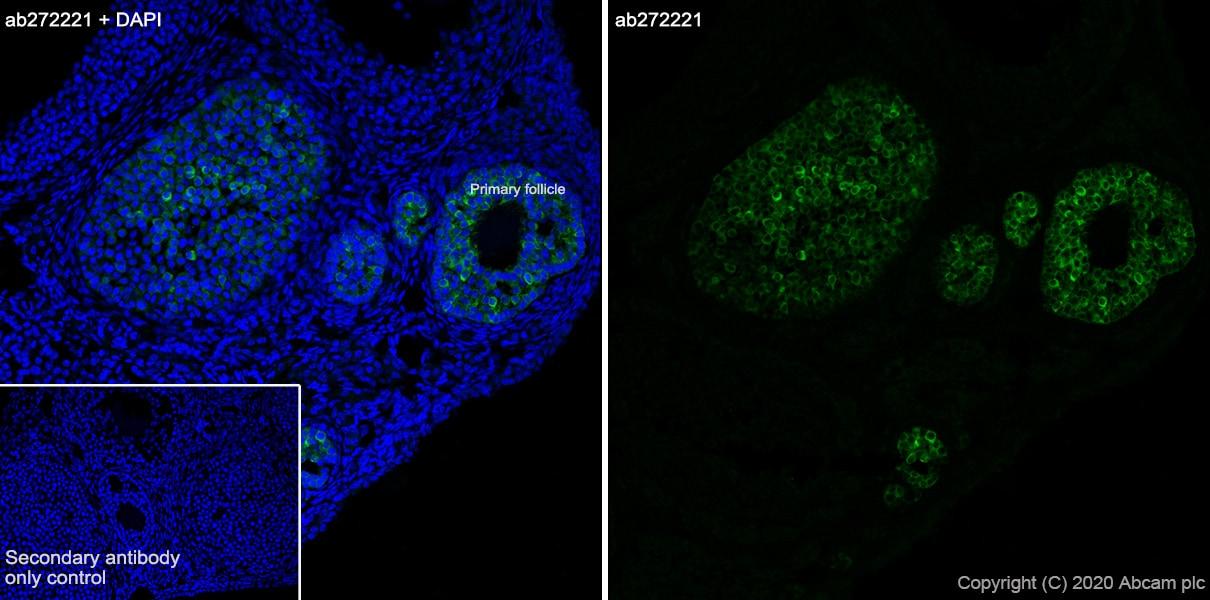 Immunohistochemistry (Frozen sections) - Anti-AMH antibody [EPR23380-171] - BSA and Azide free (ab272227)