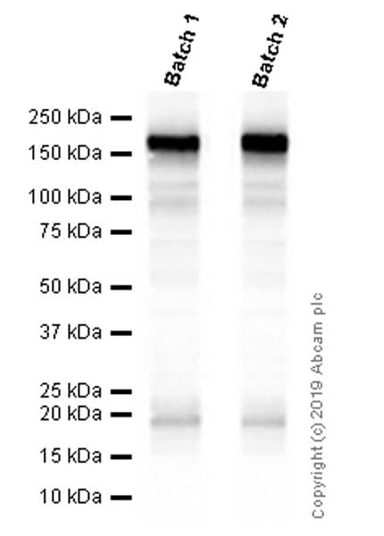 Western blot - Anti-EGFR antibody [EP38Y] - BSA and Azide free (ab272293)