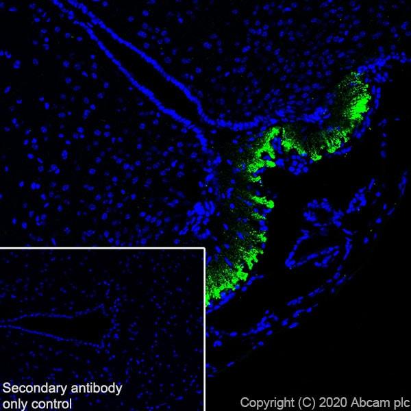 Immunohistochemistry (Frozen sections) - Anti-CRF antibody [EPR23255-162] - BSA and Azide free (ab272397)