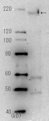 Western blot - Anti-SARS spike glycoprotein antibody [3A2] (ab272420)