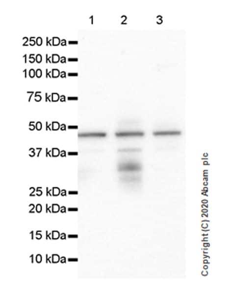 Western blot - Anti-RUNX1 / AML1 antibody [EPR23309-113] (ab272456)