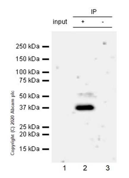 Immunoprecipitation - Anti-RUNX1 / AML1 antibody [EPR23309-113] - ChIP Grade (ab272456)