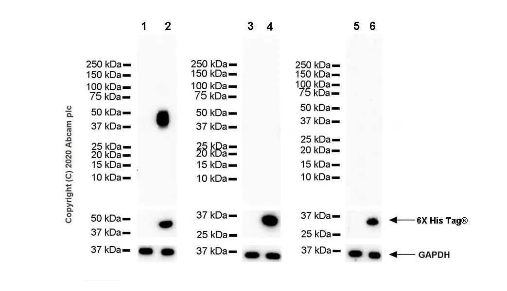 Western blot - Anti-NKG2A antibody [EPR23620-39] - BSA and Azide free (ab272460)