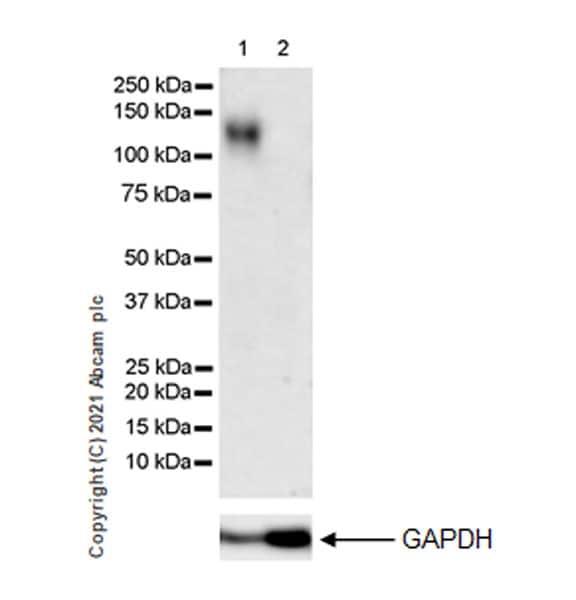 Western blot - Anti-ACE2 antibody [EPR24705-45] (ab272500)