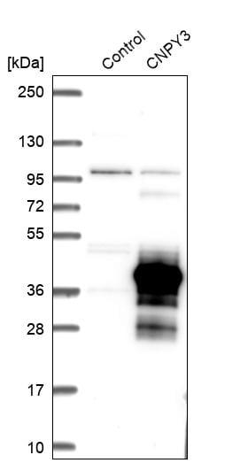 Western blot - Anti-TNRC5 antibody (ab272571)