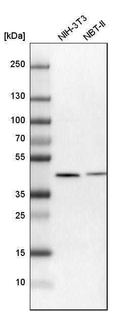 Western blot - Anti-SQRDL antibody (ab272574)