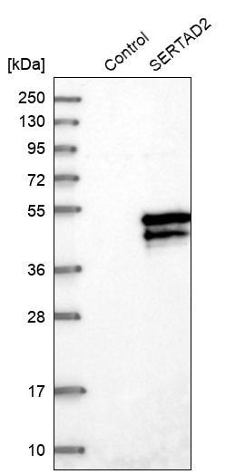 Western blot - Anti-TRIP-Br2 antibody (ab272581)