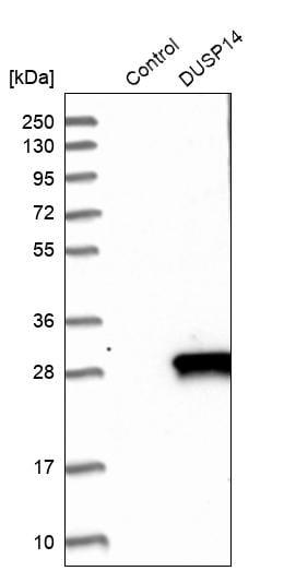 Western blot - Anti-DUSP14 antibody (ab272587)