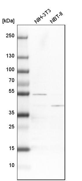 Western blot - Anti-ATP6V1C1 antibody (ab272594)