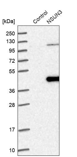 Western blot - Anti-NSUN3 antibody (ab272616)