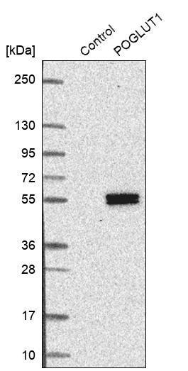 Western blot - Anti-POGLUT1 antibody (ab272623)
