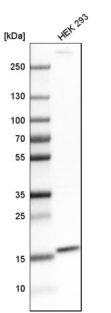 Western blot - Anti-FUNDC1 antibody (ab272627)