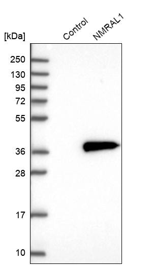 Western blot - Anti-NMRAL1 antibody (ab272637)