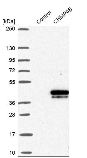 Western blot - Anti-CHMP4B / CHMP4C antibody (ab272638)