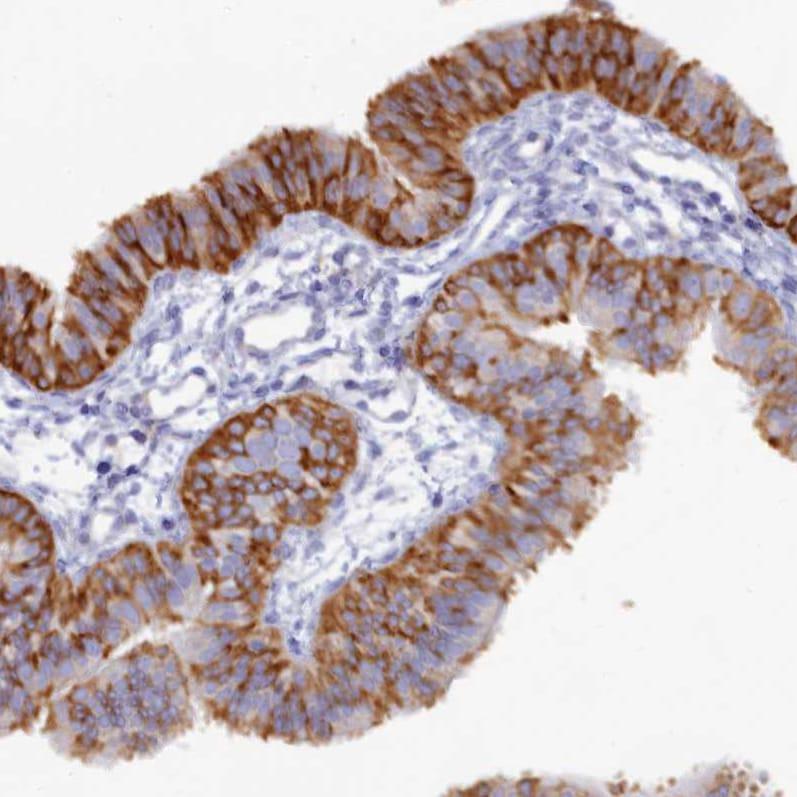 Immunohistochemistry (Formalin/PFA-fixed paraffin-embedded sections) - Anti-WDR345 antibody (ab272643)