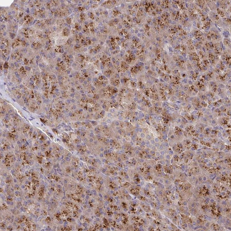 Immunohistochemistry (Formalin/PFA-fixed paraffin-embedded sections) - Anti-IDUA antibody (ab272648)