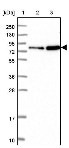 Western blot - Anti-NHE-7 antibody (ab272649)