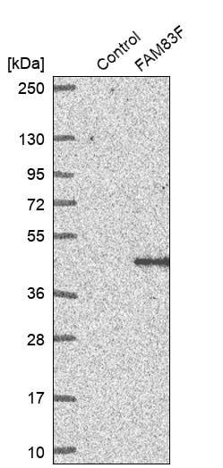 Western blot - Anti-FAM83F antibody (ab272651)