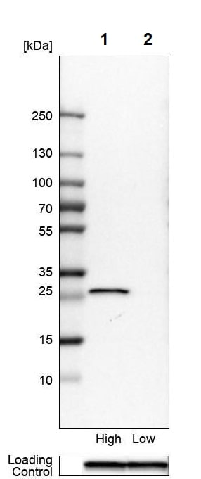 Western blot - Anti-NNMT antibody (ab272669)