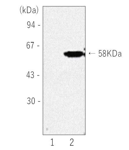 Western blot - Anti-Norovirus Capsid protein VP1 antibody [NVGII-01] (ab272689)