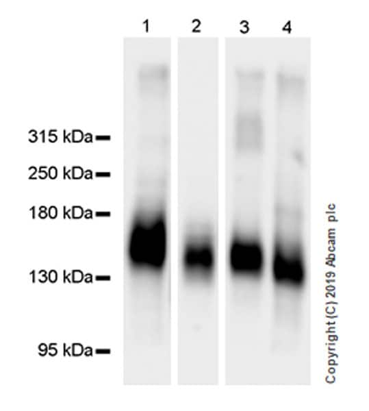 Western blot - Anti-MUC2 antibody [EPR23479-47] (ab272692)