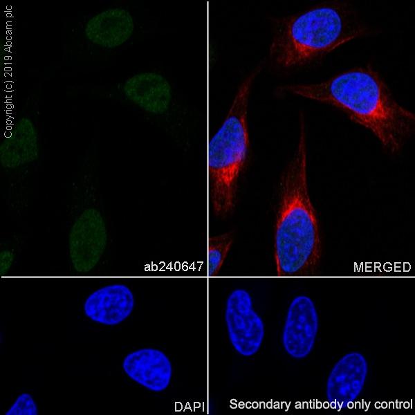 Immunocytochemistry/ Immunofluorescence - Anti-HEXIM1 antibody [EPR23430-12] - BSA and Azide free (ab272694)