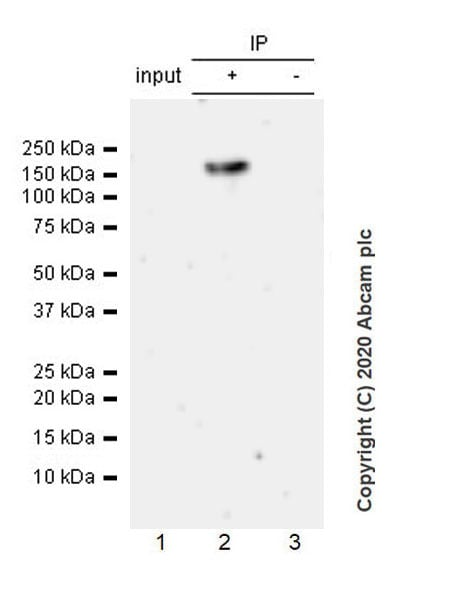 Immunoprecipitation - Anti-KDM3A / JHDM2A antibody [EPR18875-106] - BSA and Azide free (ab272695)