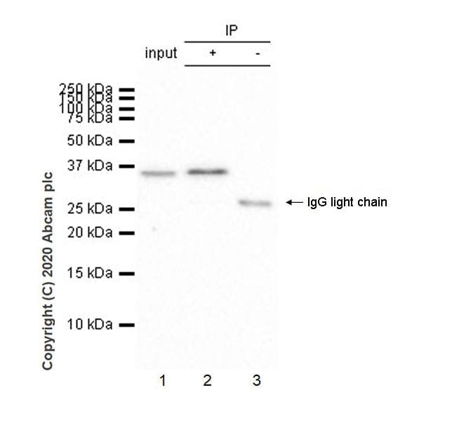 Immunoprecipitation - Anti-IL-9 antibody [EPR23484-151] - BSA and Azide free (ab272699)