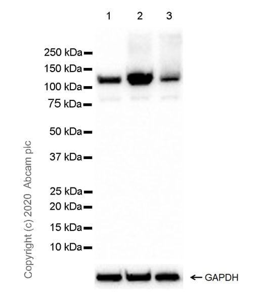 Western blot - Anti-NLRP3 antibody [EPR23073-96] - BSA and Azide free (ab272702)