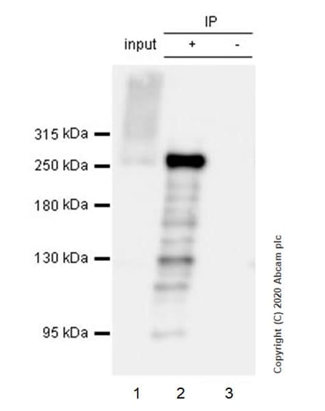 Immunoprecipitation - Anti-Acetyl Coenzyme A carboxylase alpha antibody [EPR23235-47] - BSA and Azide free (ab272703)